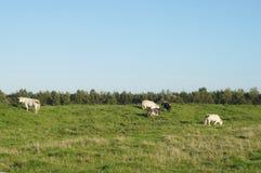 Ackerland mit Kühen in den Niederlanden Stockbilder