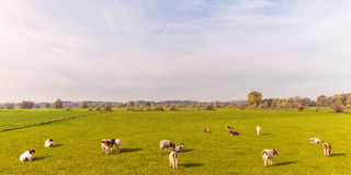 Ackerland mit Kühen in der Provinz von Gelderland Stockfotografie