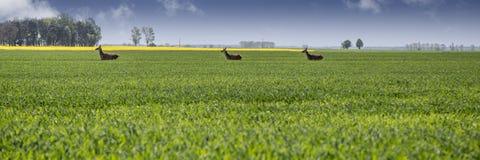 Ackerland mit laufenden Rogenrotwild Stockfotos