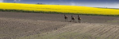 Ackerland mit laufenden Rogenrotwild Stockbilder