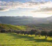 Ackerland mit Olivenbäumen am Sonnenuntergang Lizenzfreie Stockfotos