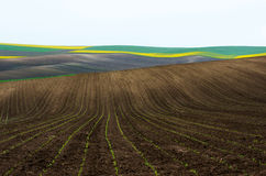 Ackerland mit Raps und junger Weizen- und jungersonnenblume Stockbilder
