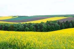 Ackerland mit Raps und junger Weizen- und jungersonnenblume Stockfoto