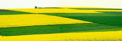 Ackerland mit Raps und junger Weizen- und jungersonnenblume Lizenzfreie Stockfotos