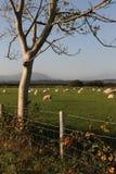 Ackerland mit Schafen. Stockfotografie