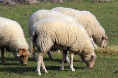 Ackerland mit Schafen Lizenzfreie Stockbilder