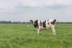 Ackerland mit Schwarzweiss-Kuh, die Niederlande Lizenzfreie Stockfotografie