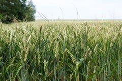Ackerland mit Weizen in den Niederlanden Stockbild