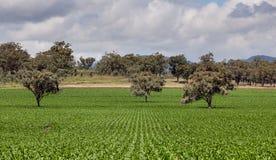 Ackerland nahe Quirindi Stockbild