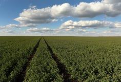 Ackerland, Rübenfeld, landwirtschaftlich, Felder der Rübe, Frühling, Lizenzfreie Stockfotografie