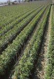 Ackerland; Tomate-Feld Stockbild
