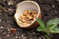 Ackerlandbohnen in der Erde Lizenzfreie Stockfotos