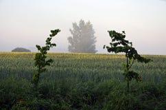 Ackerlandfeld am Sommermorgen und Sonnenaufgang setzen Zeit Nebels fest Stockbild
