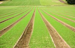 Ackerlandfurchen mit dem neuen Pflanzen in der Perspektive Lizenzfreies Stockfoto