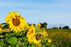 Ackerlandlandschaft mit gelben Sonnenblumen Lizenzfreie Stockfotos