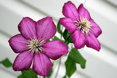 Ackmanii Clematis Royalty Free Stock Image