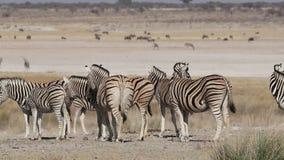 Aclara la manada de la cebra - Etosha metrajes