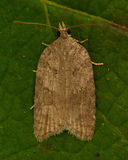 Acleris sparsana Stock Images