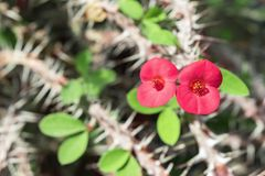 aclimataci botaniczny De Euforbia ogrodowy jard losu angeles Madagascar milii n rodzimy Orotava strzelał gatunki odrewniały tłust obraz stock