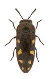 Acmaeodera bipunctata Stockbilder