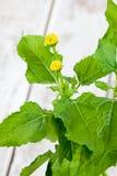 Acmella-oleracea, Gewürzkraut, Heilpflanze Lizenzfreie Stockfotos