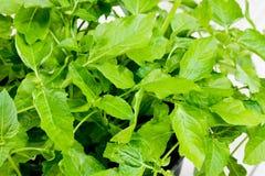 Acmella-oleracea, Gewürzkraut, Heilpflanze Stockbild