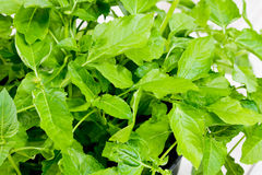 Acmella oleracea, spice herb, healing plant Stock Image