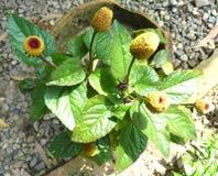 Acmella oleracea, Toothache plant, Paracress Stock Photos