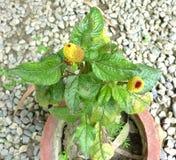 Acmella-oleracea, Zahnschmerzenanlage, Paracress Lizenzfreie Stockfotografie