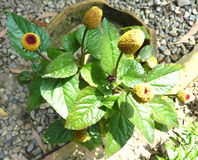 Acmella-oleracea, Zahnschmerzenanlage, Paracress Stockfotos