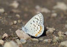 Acmon blå fjäril royaltyfri bild