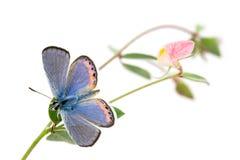 Acmon Blue, Plebejus acmon, Butterfly. With Spanish Clover, Lotus purshianus stock image