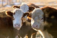 Acobarda o gado huddled no inverno fotos de stock