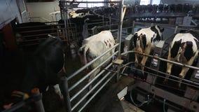 Acobarde el ordeño en granja moderna Vacas lecheras en la fábrica de la lechería Vacas de ordeño de proceso Vacas lecheras en la  metrajes