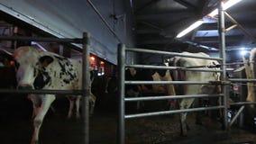 Acobarde el ordeño en granja moderna Vacas lecheras en la fábrica de la lechería Vacas de ordeño de proceso Vacas lecheras en la  almacen de metraje de vídeo