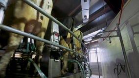Acobarde el ordeño en granja moderna Vacas lecheras en la fábrica de la lechería Vacas de ordeño de proceso Vacas lecheras en la  almacen de video