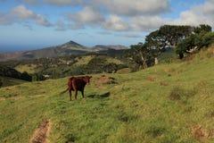 Acobarde el pasto en un pasto en la isla de St. Helena Foto de archivo libre de regalías