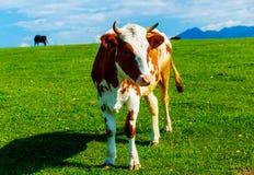 Acobarde el pasto en un prado verde hermoso, con las montañas en fondo Imagenes de archivo