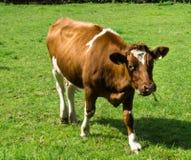 Acobarde el pasto en una granja justa del campo verde Imagen de archivo libre de regalías
