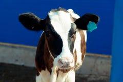Acobarde em uma exploração agrícola de gado Imagens de Stock