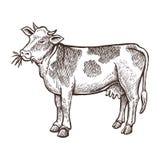 Acobarde o esboço do animal de exploração agrícola, vaca isolada no fundo branco Estilo do vintage Fotos de Stock Royalty Free