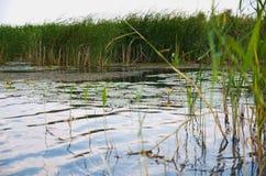 Acomete el remanso, lirio de agua amarilla Pueblo Pluta Ucrania Fotografía de archivo libre de regalías