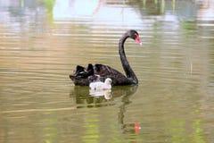 Acompañamiento del cisne negro Fotografía de archivo