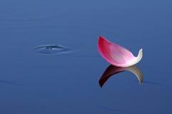 Acompañamiento flotante hermoso caido de Lotus Petal por los pescados Foto de archivo