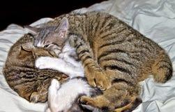 Aconchegar-se de dois gatos Imagens de Stock Royalty Free