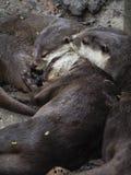 Aconchegar-se sonolento das lontras Fotos de Stock