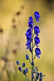 Aconit napel flower in Vosges, France Royalty Free Stock Photography