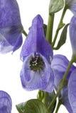 Aconit napel, napellus d'Aconitum, Photographie stock libre de droits