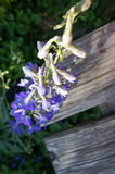 Aconite monkshood violet with wooden Stock Photography