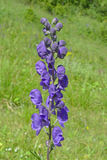 Aconite - poisonous plant Stock Images